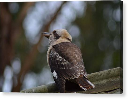 Kingfisher Canvas Print - Kookaburra On Roof by Jeb Grimes