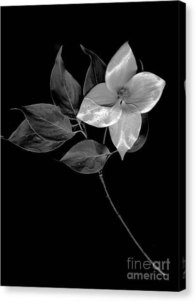 Kousa Dogwood In Black And White Canvas Print
