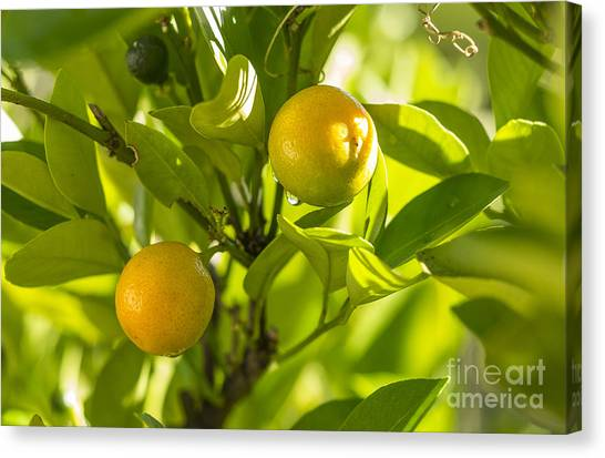 Kumquats Canvas Print