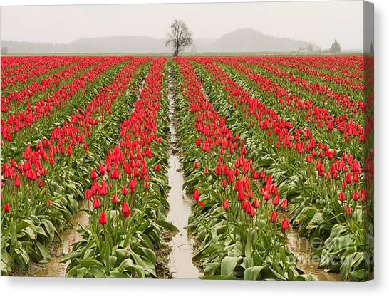 Kung Fu Canvas Print - Kung Fu Tulip Perspective by Mark Kiver