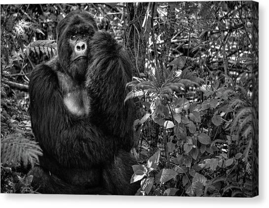 Apes Canvas Print - Kwitonda Silverback by Karen Lunney