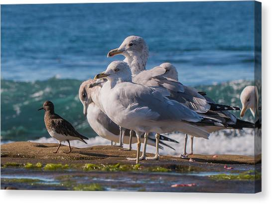 La Jolla Birds Canvas Print