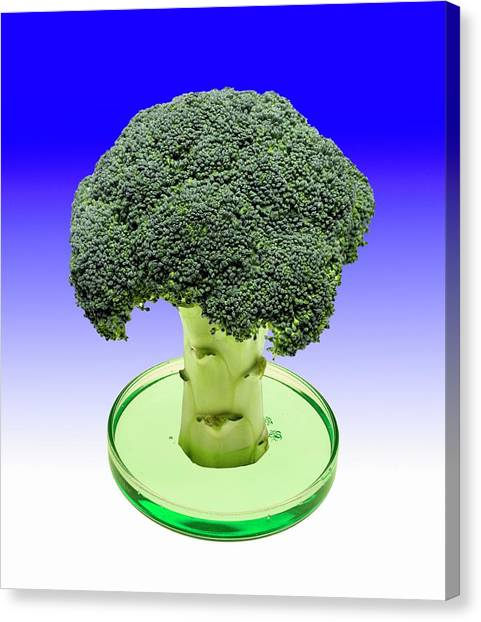 Broccoli Canvas Print - Laboratory-grown Broccoli by Victor De Schwanberg/science Photo Library