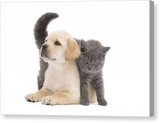 Chartreuxes Canvas Print - Labrador Puppy And Chartreux Kitten by Jean-Michel Labat
