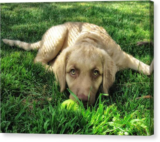 Yellow Lab Canvas Print - Labrador Puppy by Larry Marshall