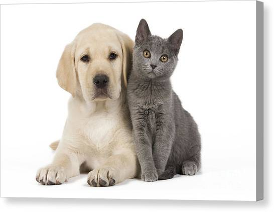 Chartreuxes Canvas Print - Labrador Puppy With Chartreux Kitten by Jean-Michel Labat