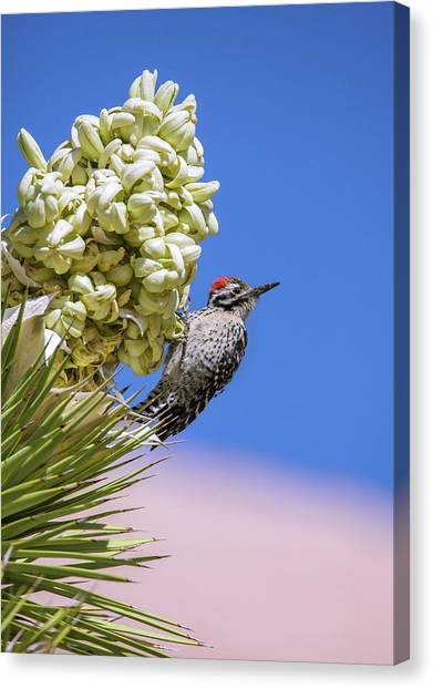 Mojave Desert Canvas Print - Ladder-backed Woodpecker Feeding by Bob Gibbons/science Photo Library