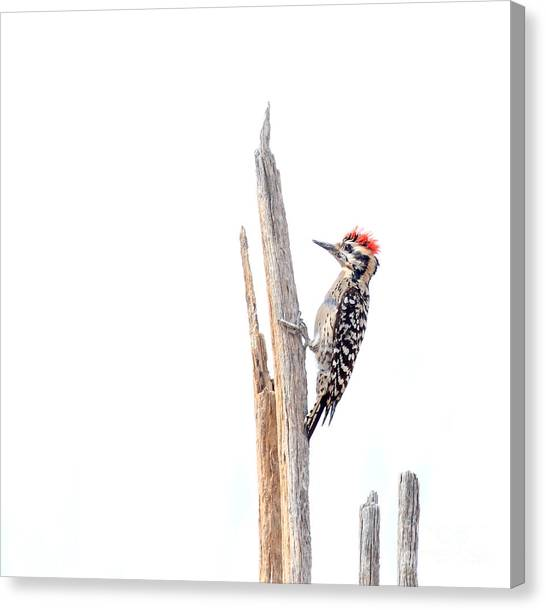 Ladder-backed Woodpecker Canvas Print