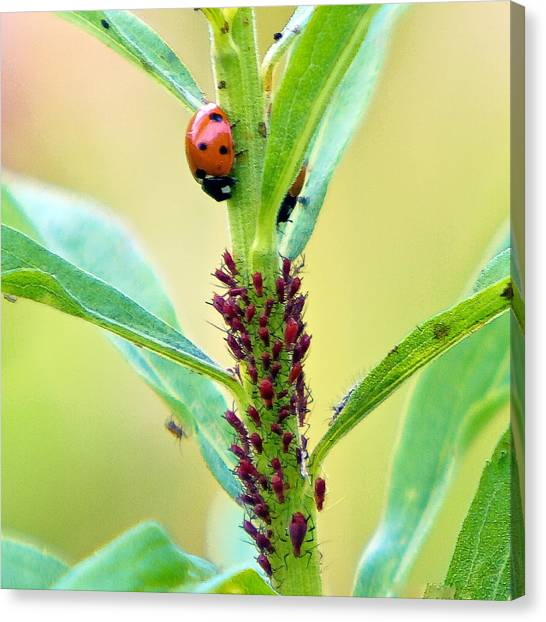 Lady Bug Keeping Watch Over Her Favorite Dinner Canvas Print