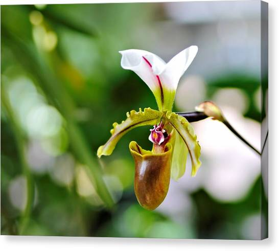 Lady Slipper Canvas Print