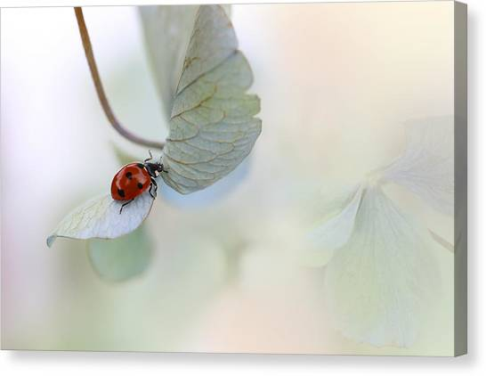 Bug Canvas Print - Ladybird On Blue-green Hydrangea by Ellen Van Deelen