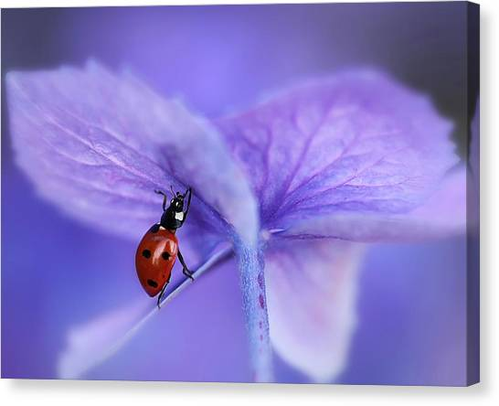 Holland Canvas Print - Ladybird On Purple Hydrangea by Ellen Van Deelen