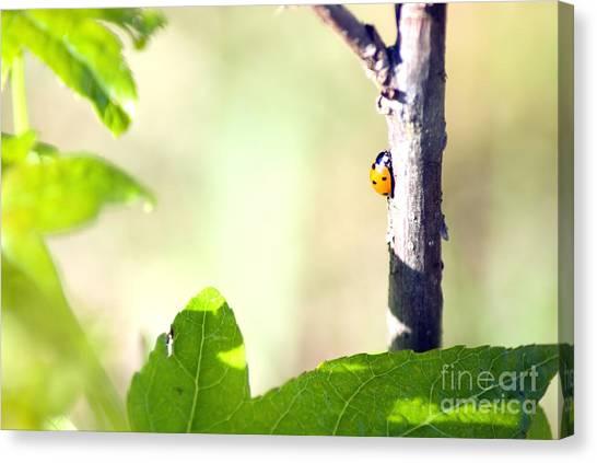 Ladybug 1.2777 Canvas Print by Stephen Parker