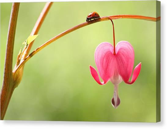 Ladybug And Bleeding Heart Flower Canvas Print