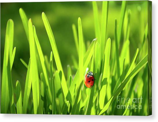 Ladybug In Grass Canvas Print