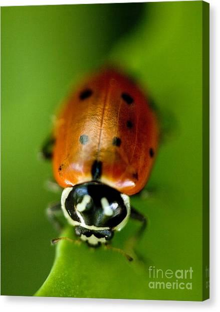 Ladybugs Canvas Print - Ladybug On Leaf by Iris Richardson