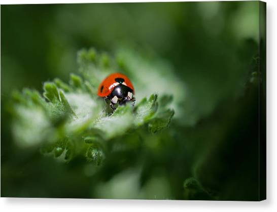 Ladybug On The Move Canvas Print