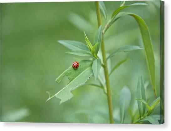 Ladybug On The Move Canvas Print