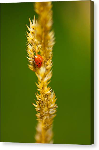 Ladybug Tucked In Canvas Print by Sarah Crites
