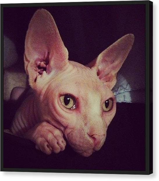 Sphynx Cats Canvas Print - #ladygee Looking All Cute Snuggled In by Samantha Charity Hall