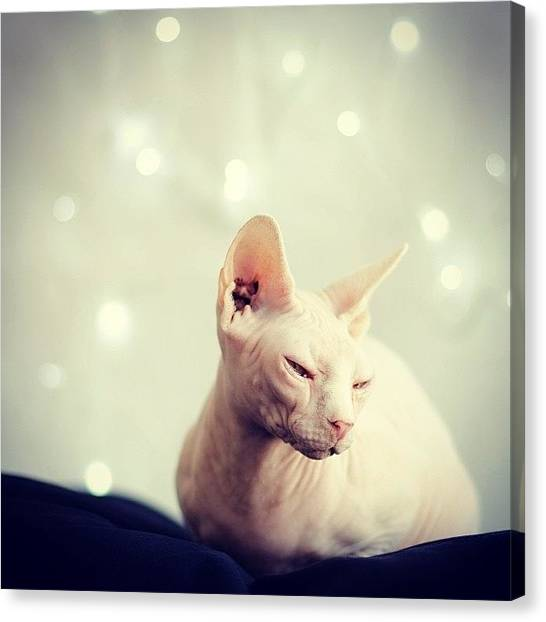 Sphynx Cats Canvas Print - #ladygeebee Jumped Into My Festive by Samantha Charity Hall