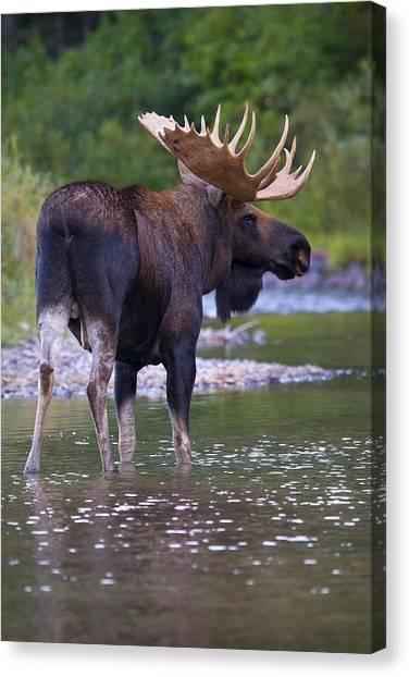 Lake Bull Canvas Print
