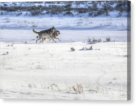 Lamar Canyon Wolves Canvas Print