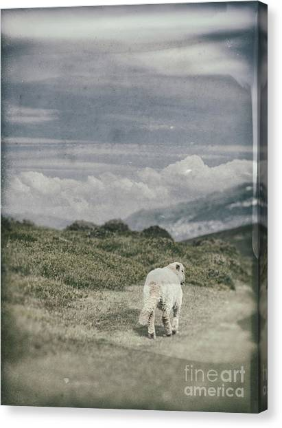 Running Backs Canvas Print - Lamb by Amanda Elwell