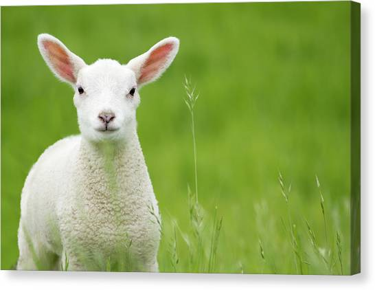 Lamb In A Meadow Canvas Print by Robas