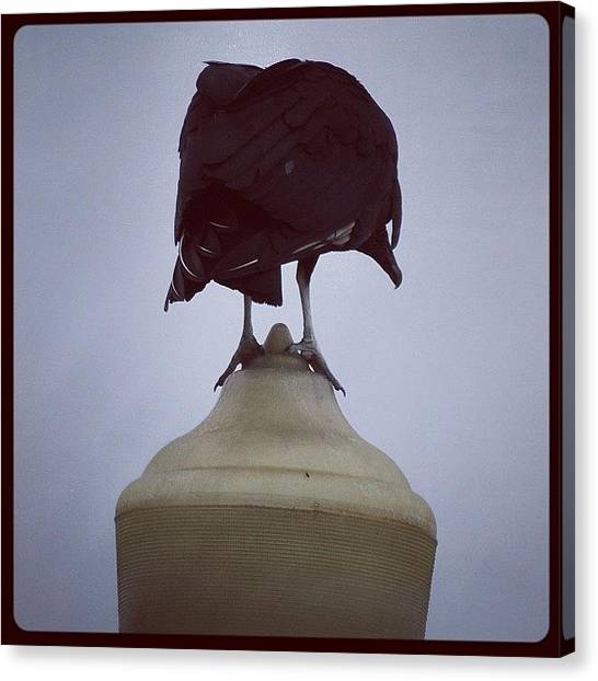 Vultures Canvas Print - #lamppostbirdies #blackbird by Robb Needham