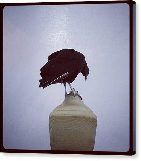 Vultures Canvas Print - #lamppostbirdies #lamppost #bird #birds by Robb Needham
