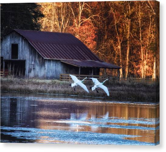 Landing Trumpeter Swans Boxley Mill Pond Canvas Print