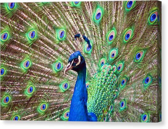 Landscape Peacock Canvas Print