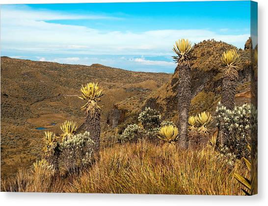 Nevado Del Ruiz Canvas Print - Landscape With Espeletia Plants by Jess Kraft