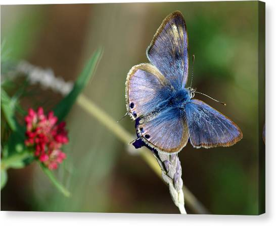 Lang's Short-tailed Blue Canvas Print