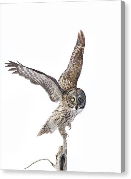 Lapland Owl On White Canvas Print
