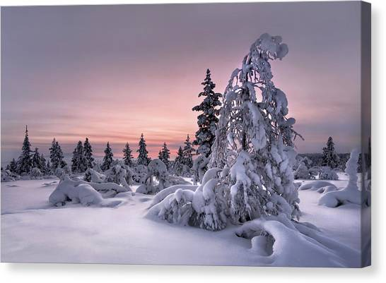 Pine Trees Canvas Print - Lappland - Winterwonderland by Christian Schweiger