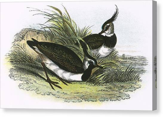 Lapwing Canvas Print - Lapwing by English School