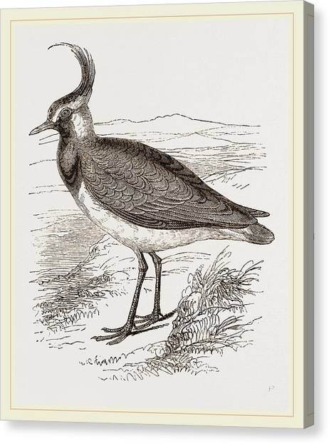 Lapwing Canvas Print - Lapwing by Litz Collection