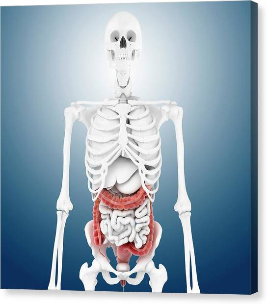 Sigmoid Colon Canvas Print - Large Intestine And Skeleton by Springer Medizin