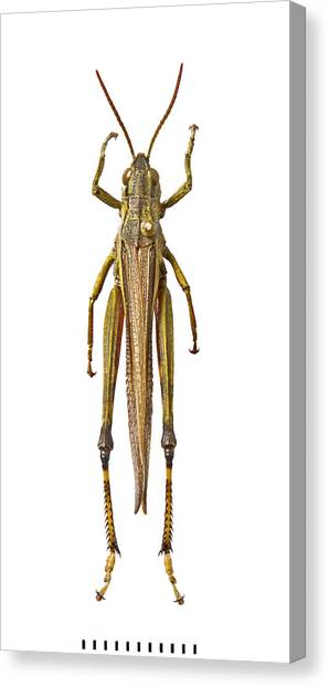 Grasshoppers Canvas Print - Large Marsh Grasshopper by Natural History Museum, London