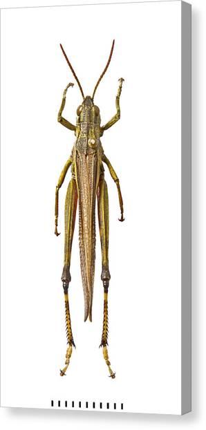 Grasshopper Canvas Print - Large Marsh Grasshopper by Natural History Museum, London