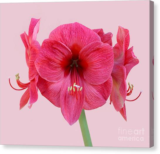 Large Pink Amaryllis With Silky Petals On Pink Canvas Print by Rosemary Calvert