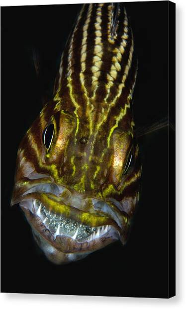 Angle Fishes Canvas Print - Large-toothed Cardinalfish Brooding by Dray van Beeck