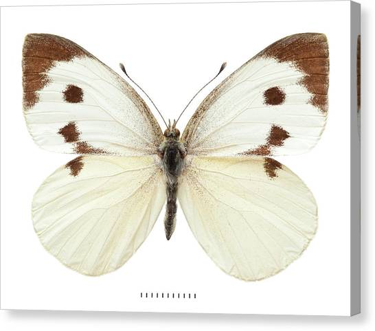 Pest Canvas Print - Large White by Natural History Museum, London
