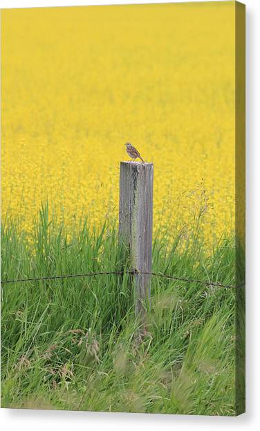 Lark And Canola Canvas Print by Susan Copley