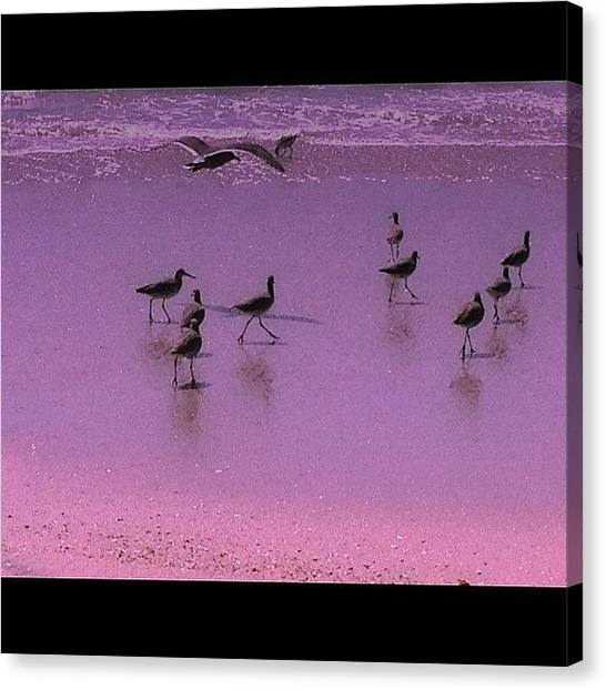 Sandpipers Canvas Print - Last One... Managed To Get A Pic Of A by Augusta Sweet