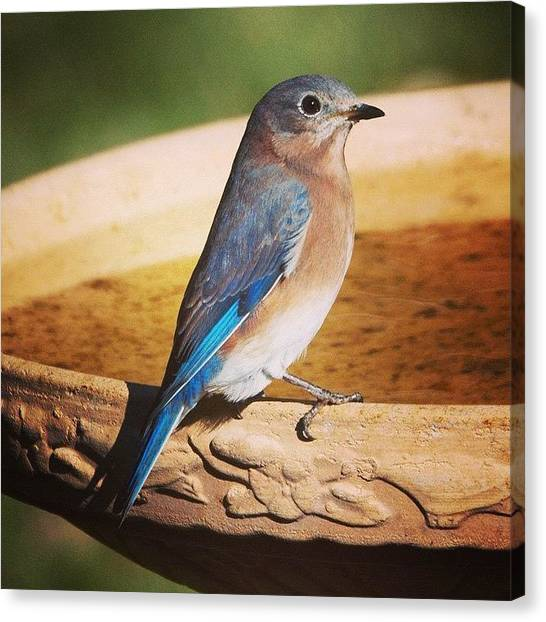 Minnesota Canvas Print - Late Fall Eastern Bluebird by Heidi Hermes