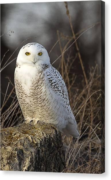 Late Season Snowy Owl Canvas Print
