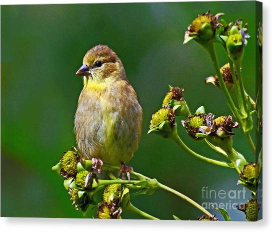Late Summer Finch Canvas Print